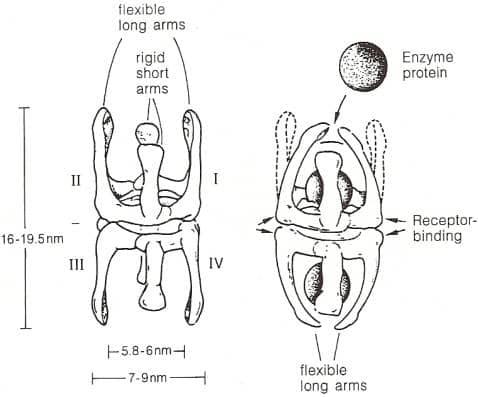 les pinces des anti-protéases capturent les protéases