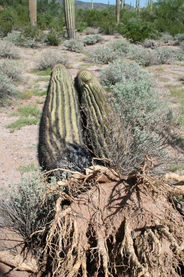 racines de cactus